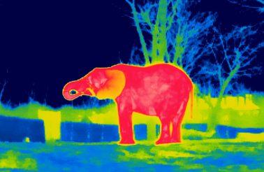 slon-na-wybiegu-ir